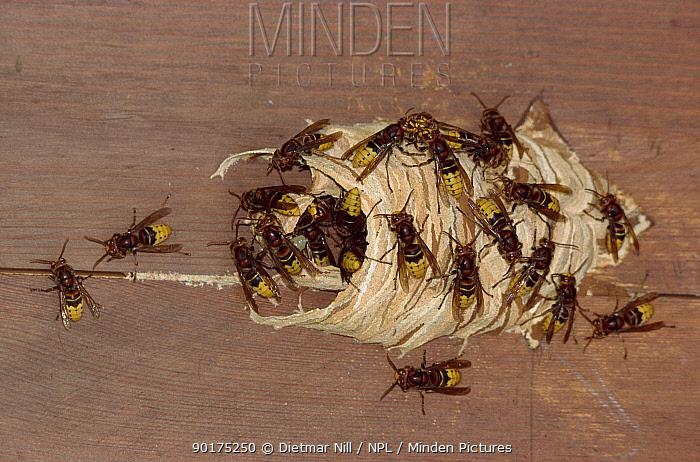 Hornets at nest (Vespa crabbo) Germany  -  Dietmar Nill/ npl