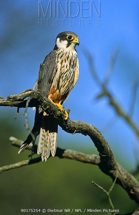 Hobby (Falco subbuteo) perched, Germany  -  Dietmar Nill/ npl