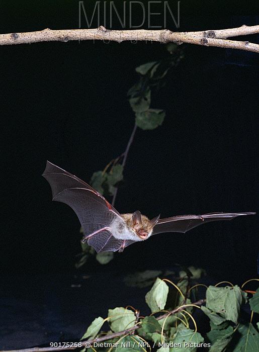 Bechstein's bat in flight (Myotis bechsteinii) Germany  -  Dietmar Nill/ npl