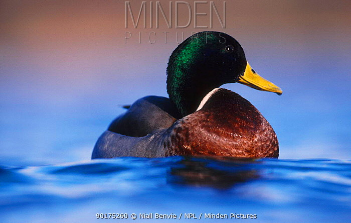Mallard drake portrait on water (Anas platyrhynchos)  -  Niall Benvie/ npl