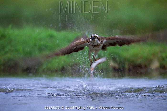 European osprey with fish in claws (Pandion haliaetus) Finland  -  David Tipling/ npl