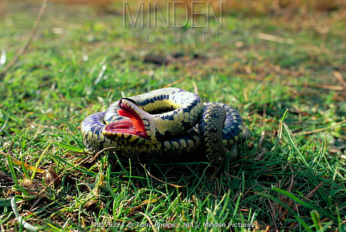 Grass snake feigning death (Natrix natrix) Purbeck, Dorset, UK  -  Tony Phelps/ npl