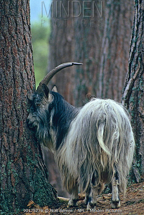 Feral goat male sniffing tree (Capra hircus) Inverness, Scotland  -  Niall Benvie/ npl