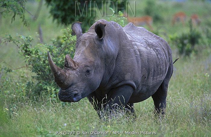 White rhinoceros (Ceratotherium simum) Kruger NP South Africa  -  Ron O'Connor/ npl