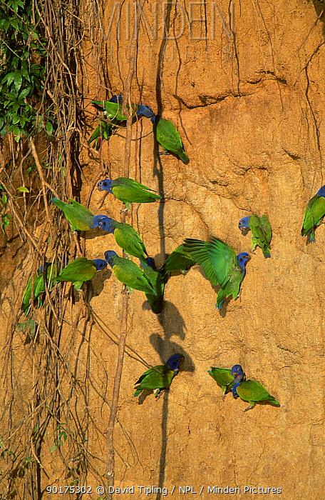 Blue headed parrots at clay lick (Pionus menstruus) Manu Peru  -  David Tipling/ npl