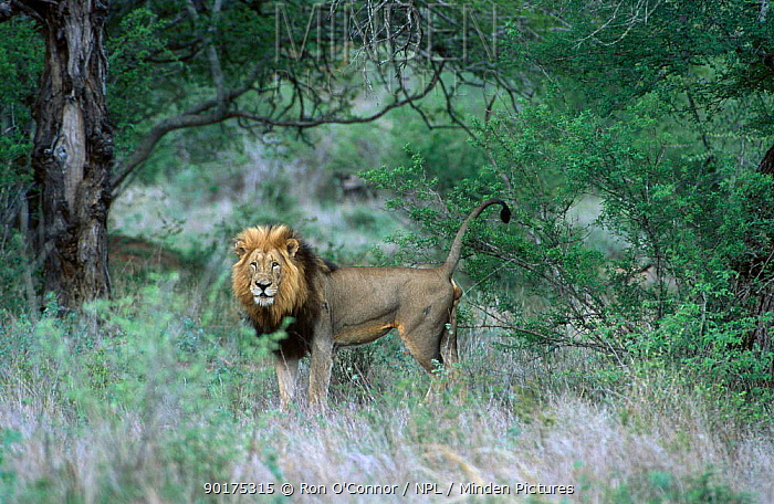 Male Lion scent marking (Panthera leo) Kruger NP S Africa  -  Ron O'Connor/ npl