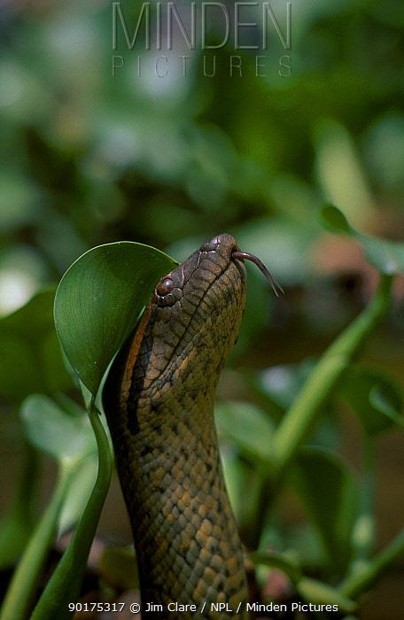 Anaconda head portrait (Eunectes murinus) Llanos Venezuela  -  Jim Clare/ npl