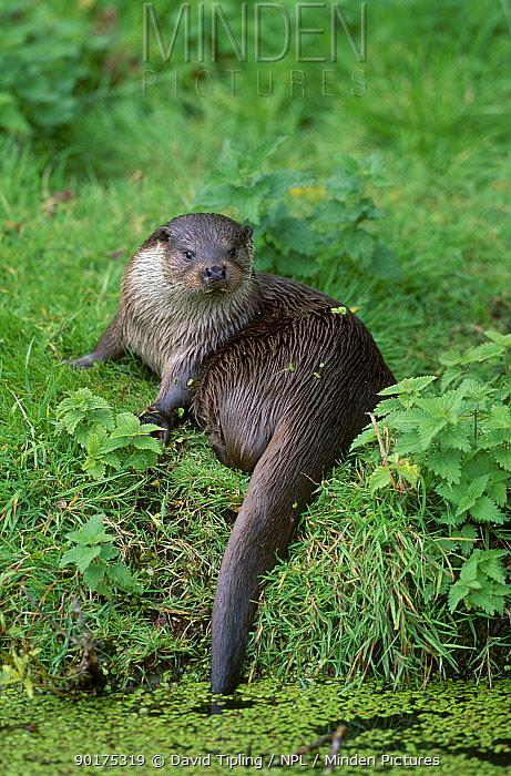European river otter (Lutra lutra) UK  -  David Tipling/ npl