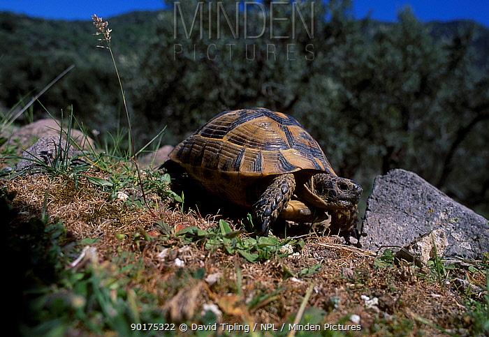 Hermanns tortoise (Testudo hermanni) Lesbos Greece  -  David Tipling/ npl