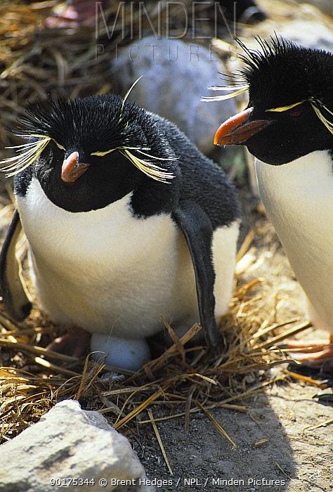 Rockhopper penguin on nest with egg (Eudyptes chrysocome, crestatus) Falkland Islands  -  Brent Hedges/ npl