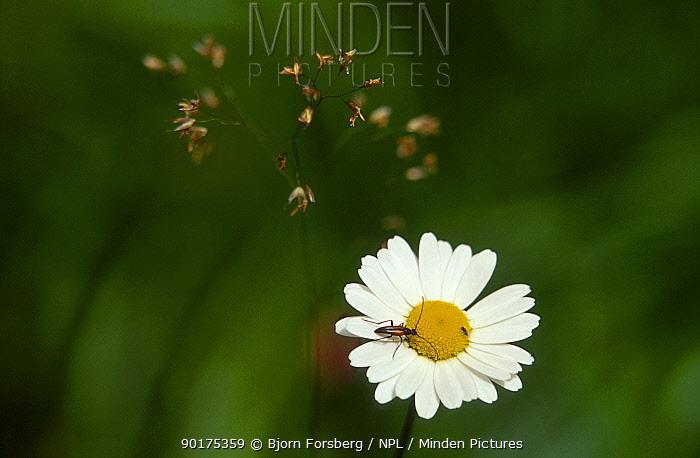 Marguerite flower (Leucanthemum vulgare) with (Leptura sanguinalenta) beetle Sweden  -  Bjorn Forsberg/ npl