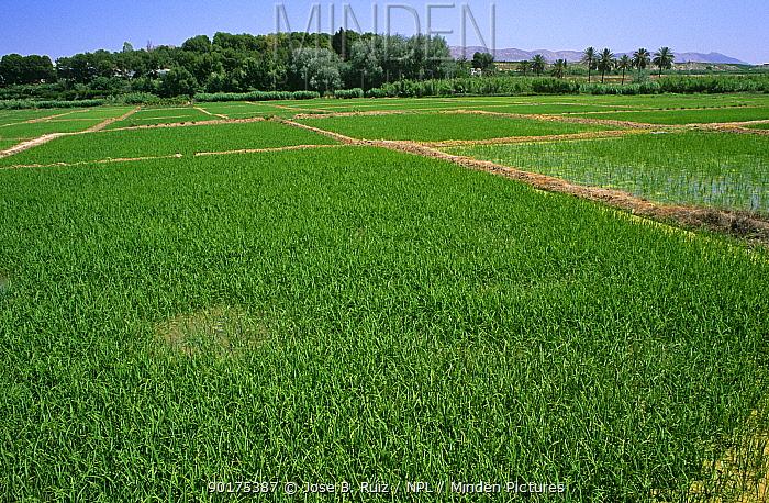 Field of Cultivated rice (Oryza sativa) Murcia, Spain  -  Jose B. Ruiz/ npl