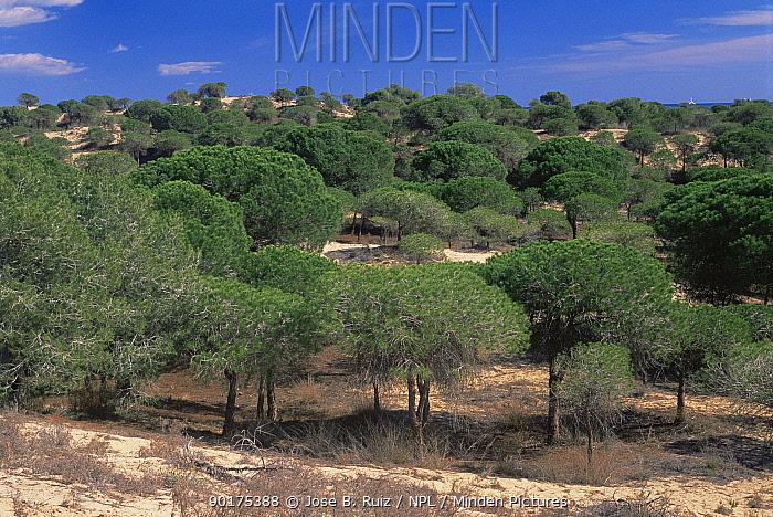 Pine trees planted on sand dunes to stabilise dunes, Alicante, Spain  -  Jose B. Ruiz/ npl