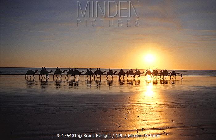 Camel riders on beach at sunset, Broome, Western Australia  -  Brent Hedges/ npl