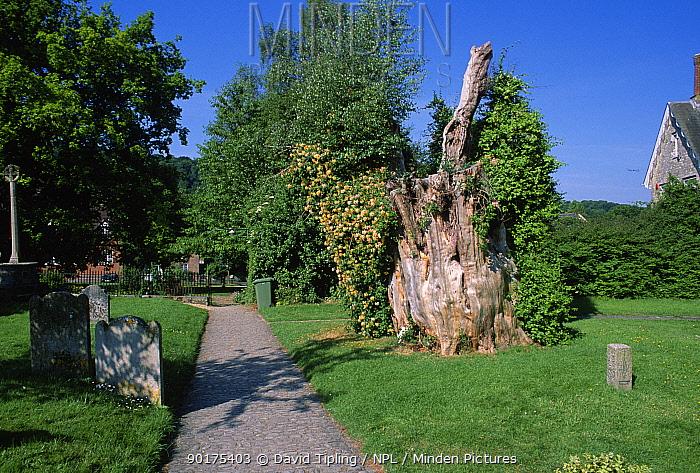 Churchyard with stump of Gilbert White's yew tree Selborne, Hampshire, England  -  David Tipling/ npl
