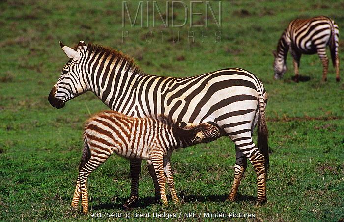 Mother Grants zebra suckling foal (Equus burchelli boehmi), Amboseli NP, Kenya  -  Brent Hedges/ npl