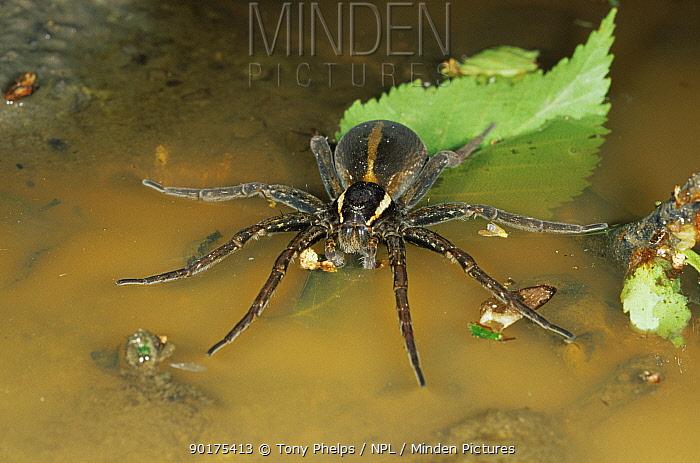 Raft spider female on water (Dolomedes fimbriatus) Dorset England UK  -  Tony Phelps/ npl