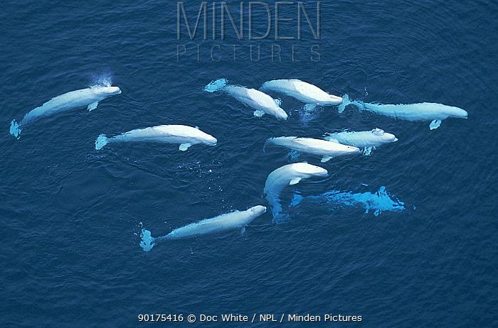Aerial view of Belugas, White whale (Delphinapterus leucas) near sea surface, Canadian arctic  -  Doc White/ npl