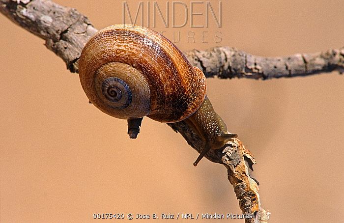 Snail climbing twig (Otala sp) Spain  -  Jose B. Ruiz/ npl