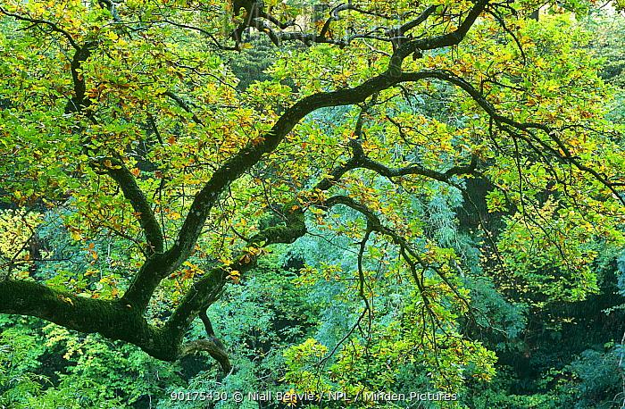 Pendunculate oak tree (Quercus robur) UK  -  Niall Benvie/ npl