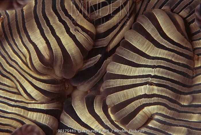Close up of mouth of Sea anemone (Actiniaria) Sulu-sulawesi seas, Indo-pacific  -  Jurgen Freund/ npl