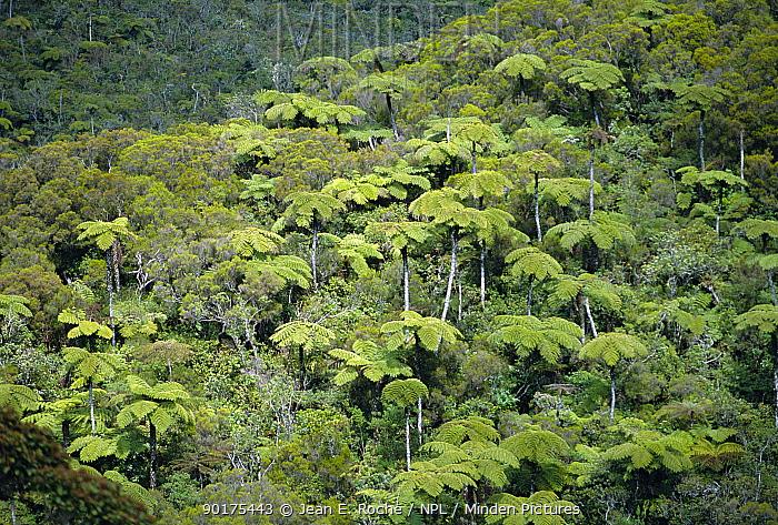 Tree ferns, Foret de la plaine des Palmistes, La Reunion, Indian Ocean  -  Jean E. Roche/ npl