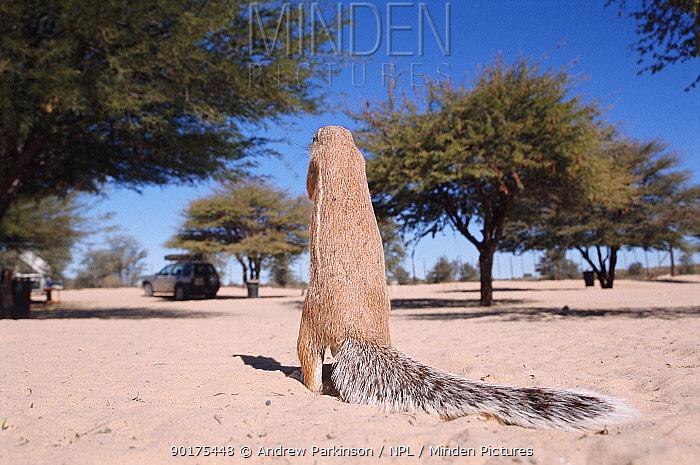 Cape ground squirrel, rear view (Xerus inauris) Nossob campsite, Kgalagadi TFP, South Africa  -  Andrew Parkinson/ npl