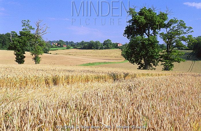 View over wheat fields in summer, Caistor St Edmunds, near Norwick, Norfolk, UK, July 1997  -  Nigel Bean/ npl