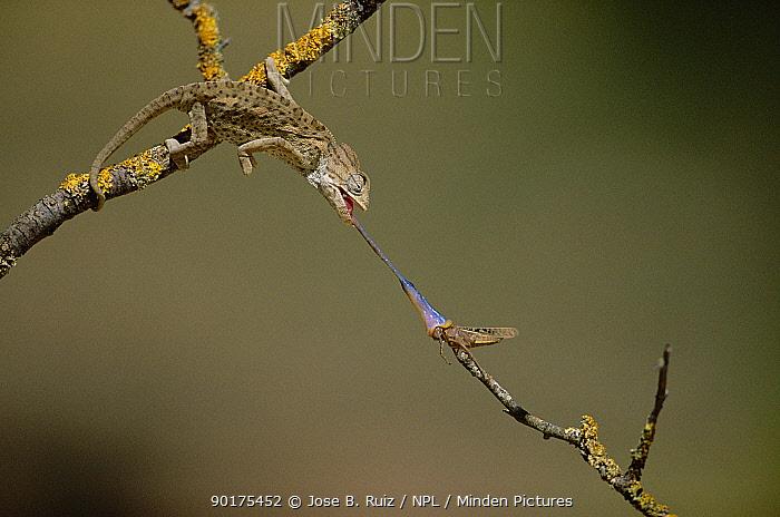 European chameleon (Chamaeleo chamaeleon) catches grasshoppper prey with tongue Hunting sequence 2 of 2, Spain  -  Jose B. Ruiz/ npl