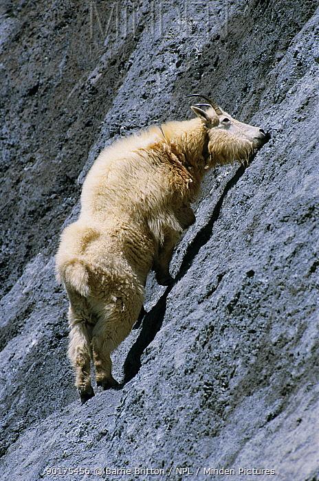 Mountain goat licks rock for mineral salts (Oreamnos americanus) Glacier NP, Montana  -  Barrie Britton/ npl
