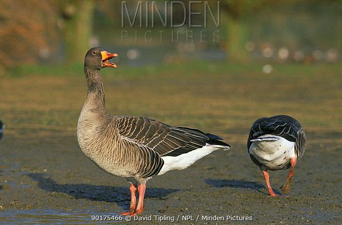 Greylag goose calling (Anser anser) Scotland, UK  -  David Tipling/ npl