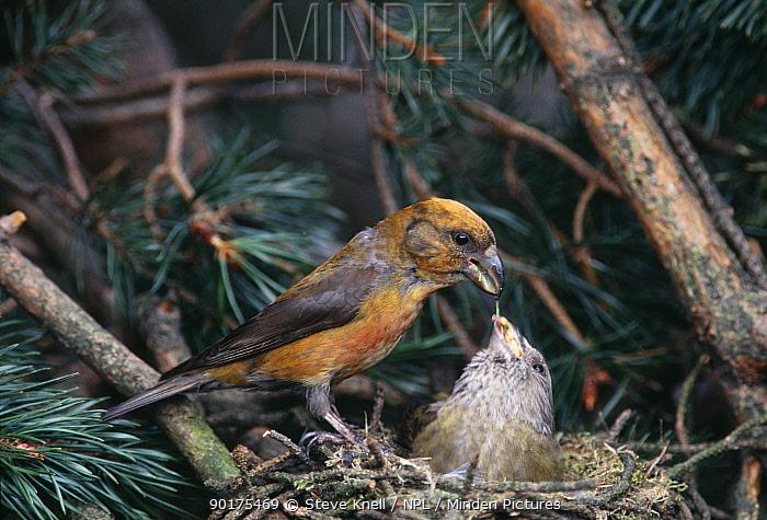 Red crossbill male feeding female sitting at nest (Loxia curvirostra) UK  -  Steve Knell/ npl