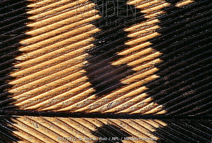 Great bustard bird feather detail (Otis tarda)  -  Jose B. Ruiz/ npl