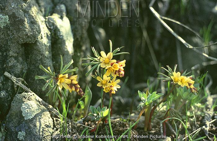 (Leontice albertii) in flower, Asky-Jabagly NR, Western Tien Shan Mountains, South Kazakstan, Russia  -  Vladimir Kolbintsev/ npl