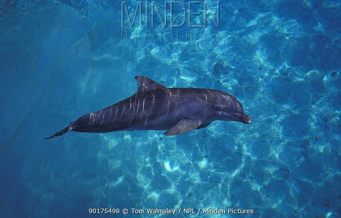 Bottle nosed dolphin (Tursiops truncatus) Bahamas  -  Tom Walmsley/ npl