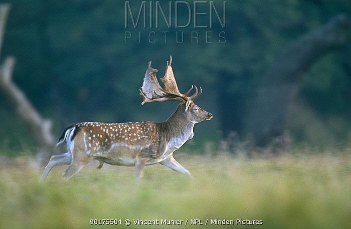 Fallow deer stag running (Dama dama) Denmark  -  Vincent Munier/ npl