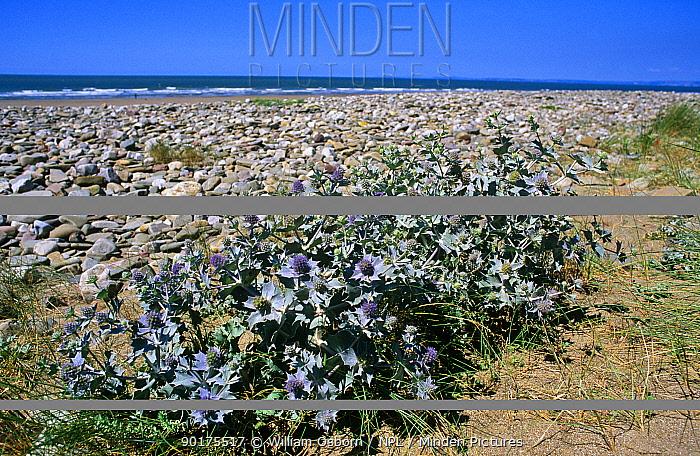 Sea holly on beach (Eryngium maritimus) Mid Glamorgan, Wales, UK  -  William Osborn/ npl