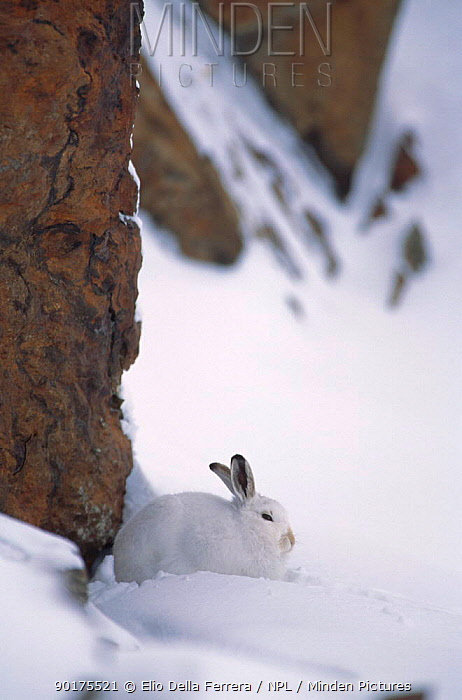 Mountain hare (Lepus timidus) in winter coat in snow, Alps, Italy  -  Elio Della Ferrera/ npl