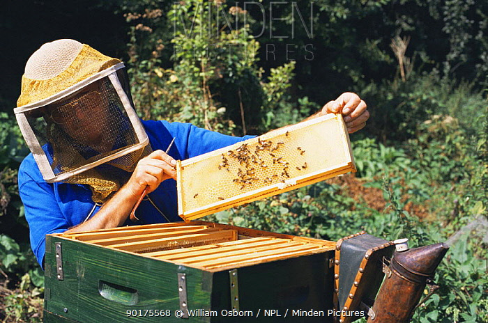 Bee keeper wearing protective clothing inspects honeycomb in beehive (Apis mellifera) Somerset, UK  -  William Osborn/ npl