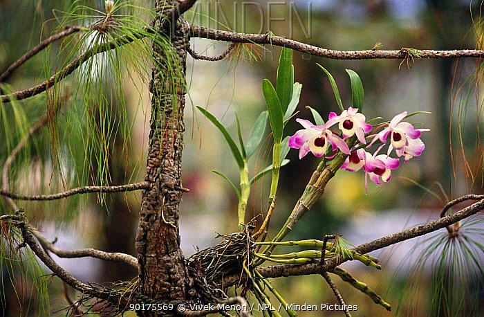 Dendrobium orchid in wild tropical rainforest, Assam, North East India  -  Vivek Menon/ npl