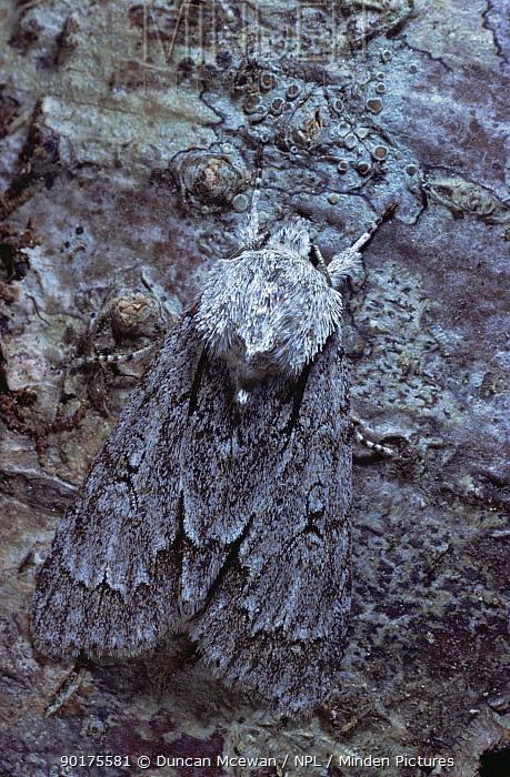Grey Dagger moth (Acronicta psi) camouflaged on tree trunk, Scotland, UK  -  Duncan McEwan/ npl