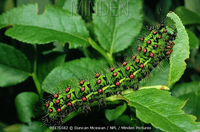 Emperor moth larva feeding  -  Duncan McEwan/ npl