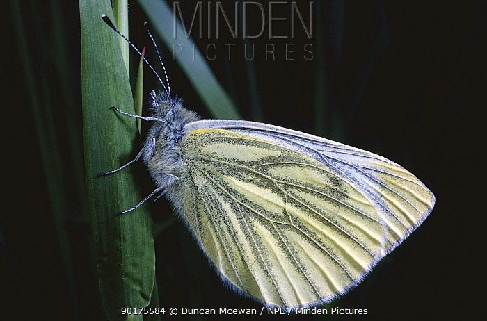 Green Veined White butterfly (Pieris napi) UK  -  Duncan McEwan/ npl