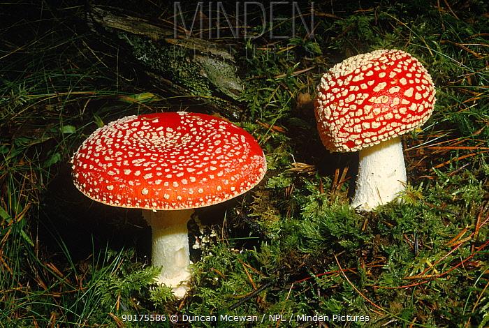 Fly Agaric fungus (Amanita muscaria) in grassland under birch (poisonous) Scotland, UK, Europe  -  Duncan McEwan/ npl