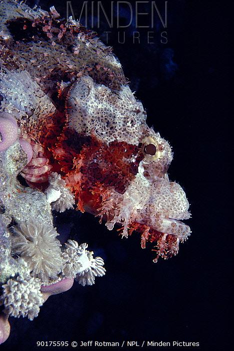 Bearded Scorpionfish head portrait (Scorpaenopsis barbatus) Red Sea, fish is well camouflaged on coral  -  Jeff Rotman/ npl