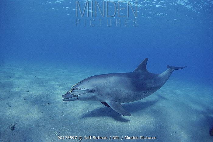 Bottlenose dolphin (Tursiops truncatus) with Octopus prey around head, Red Sea, Egypt  -  Jeff Rotman/ npl