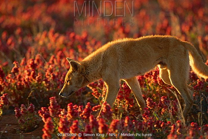 Male Dingo (Canis dingo) foraging for lizards, Central Australia  -  Simon King/ npl