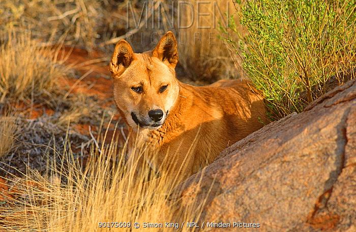 Dingo male (Canis dingo) Central Australia  -  Simon King/ npl
