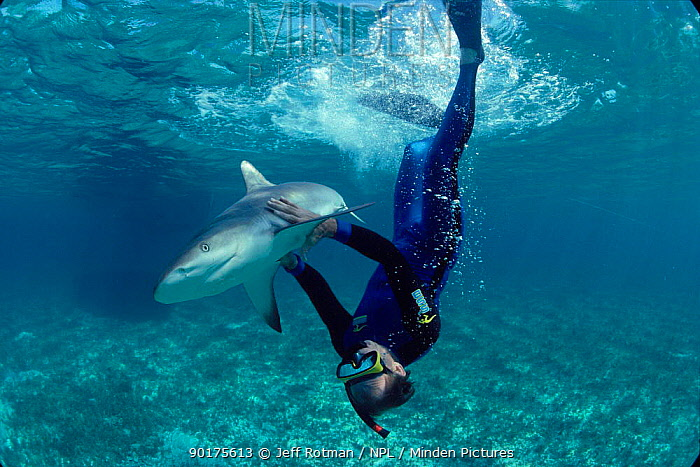 Man swims with Caribbean reef shark (Carcharhinus perezi) Bahamas  -  Jeff Rotman/ npl