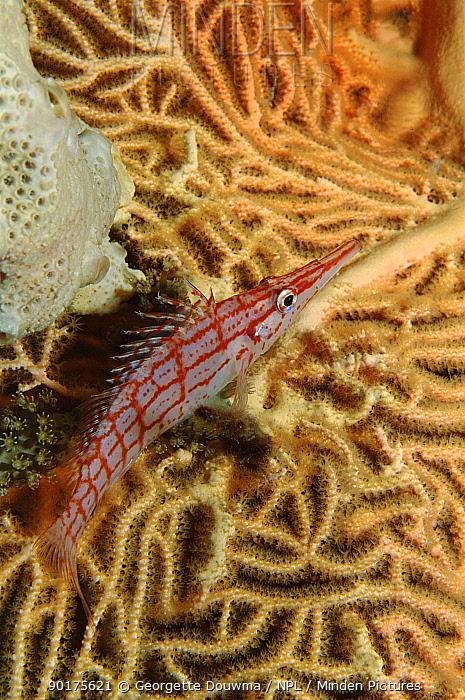 Longnose hawkfish on coral, Red Sea  -  Georgette Douwma/ npl